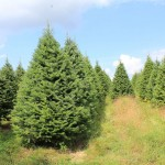 Christmas trees in july